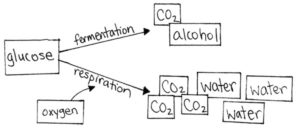 diagram of fermentation reactions